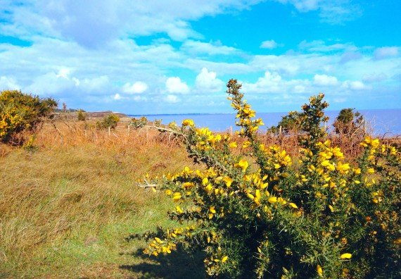 Gorse on the coast at Dunwich Heath