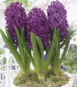 Hyacinth 'Woodstock' - Christmas Gift Hyacinthus