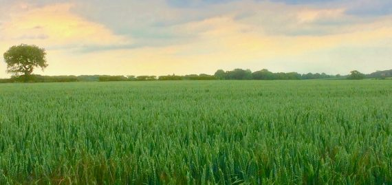 Norfolk Countryside field of spring wheat